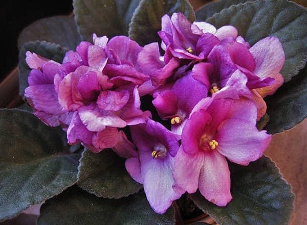 African Violets (Saintpaulia) Flowers