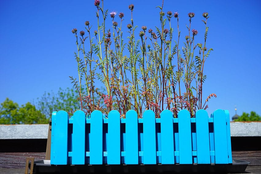 Blue picket fence style flower box with phacelia flowers