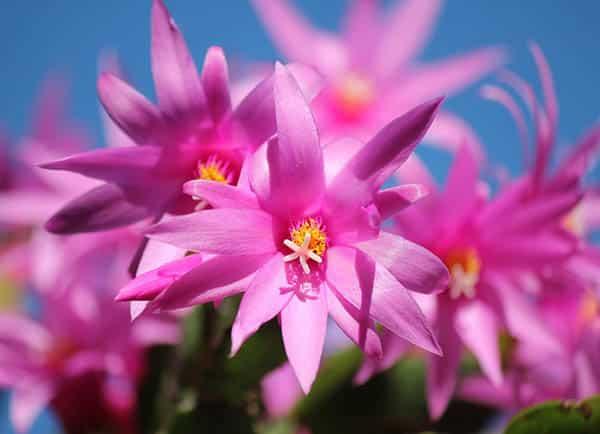 Christmas cactus schlumbergera flowers