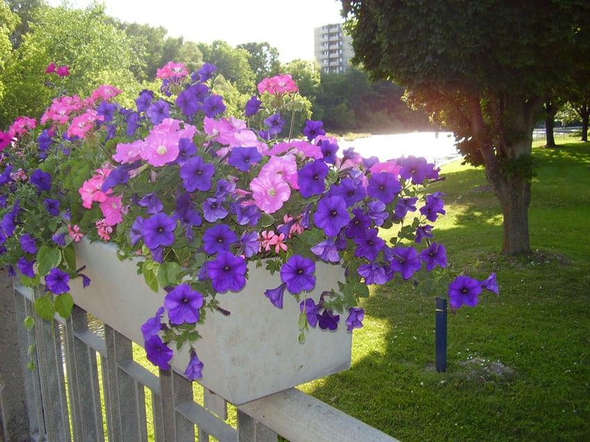 Flower box with purple petunias and pink geraniums