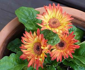 gerbera-daisy-flowers