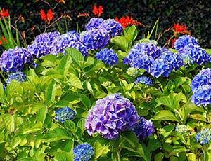 hydrangeas-in-garden