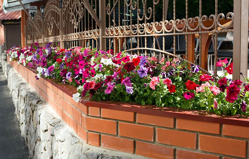 Metal lattice fence with flower box with petunia flowers