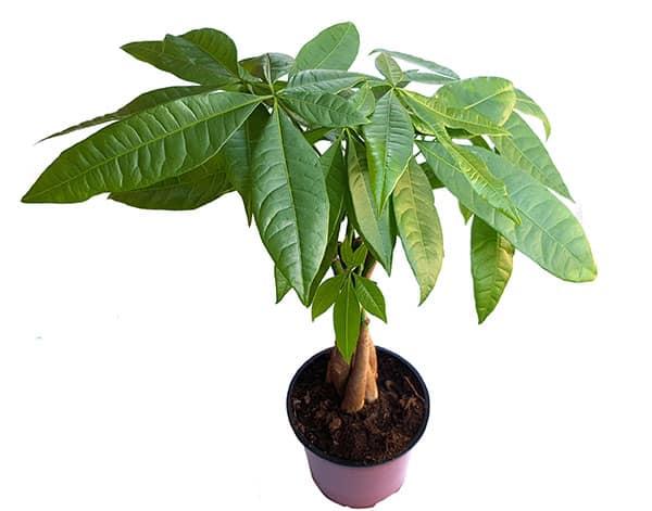 money plant pachira aquatica - House Plants Tree