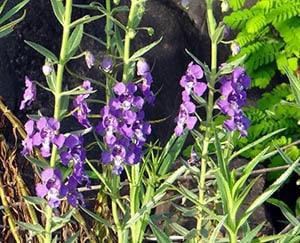 narrowleaf-angelonia-flower