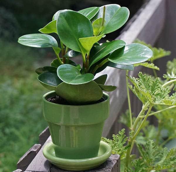 Peperomia calcium oxalate plant
