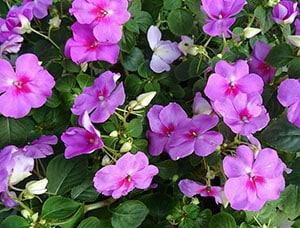 purple-impatiens-flowers