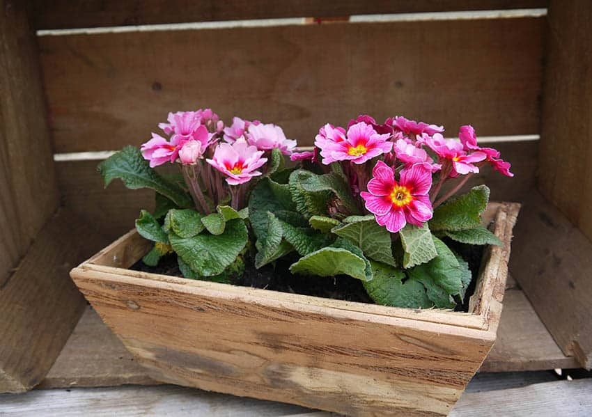Small wood flower box with primroses