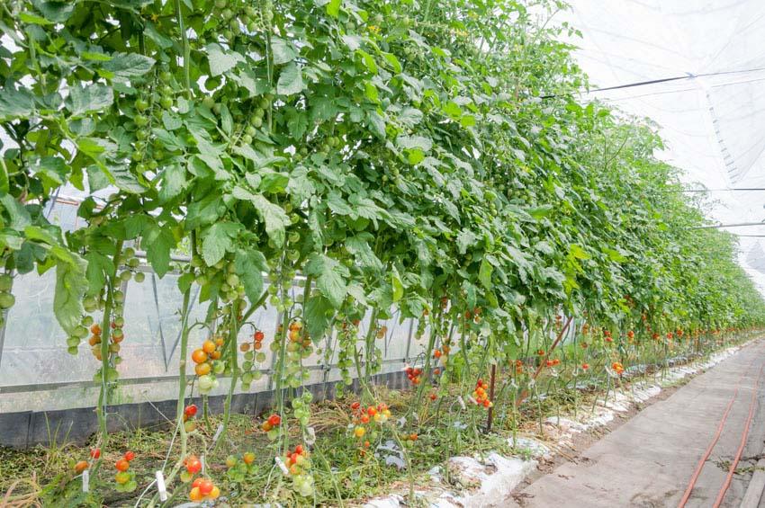 Vertical tomato garden in greenhouse