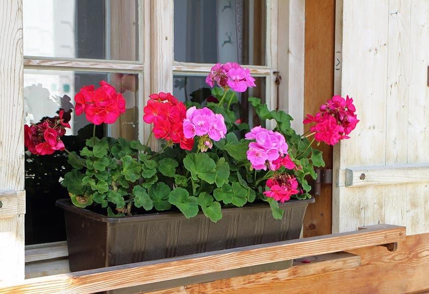Window flower box with geraniums