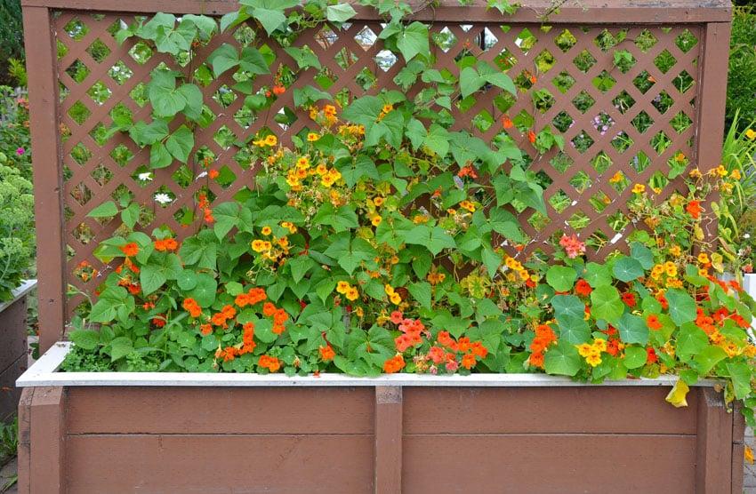 Wood trellis with flower box and nasturtiums