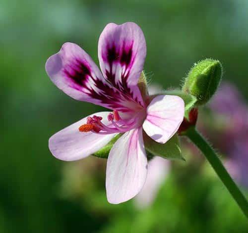 Geranium Pelargonium Quercifolium flower