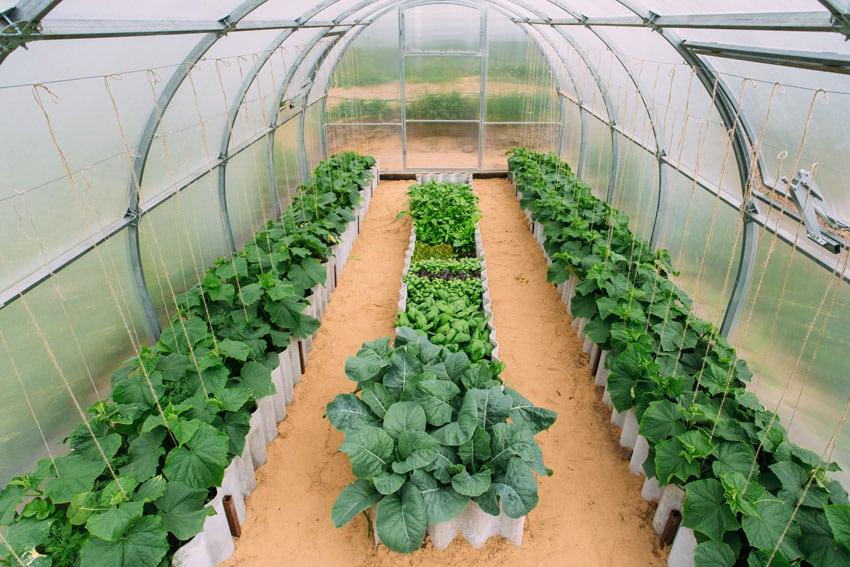 Inside vegetable greenhouse