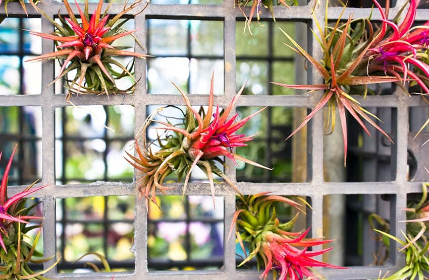 Guide to Growing Air Plants (Care & Decorating Tips)