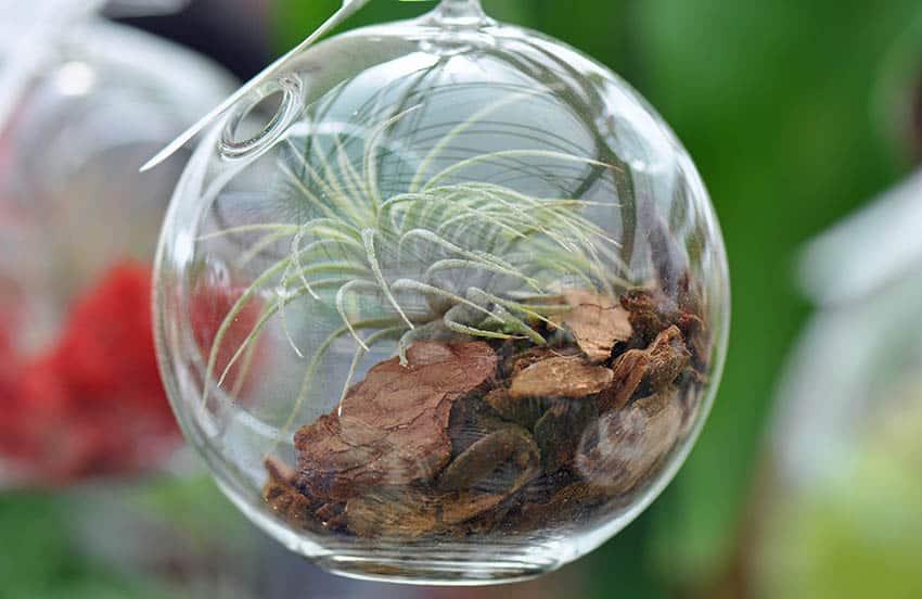 Tillandsia in glass terrarium
