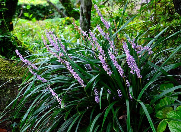 Lilyturf liriope muscari
