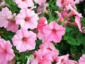 Pink petunias flower garden