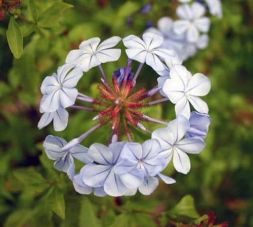 Sky Flower Blue Plumbago