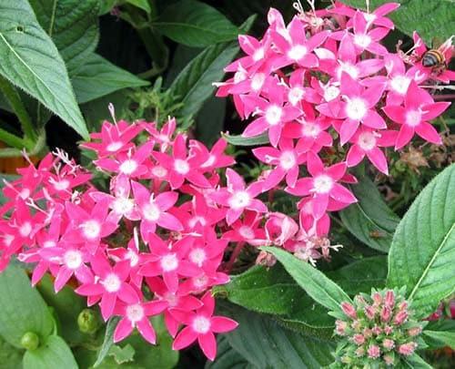 Pink Penta Flowers