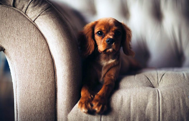 Best Couches For Dogs (Material U0026 Fabric Ideas)