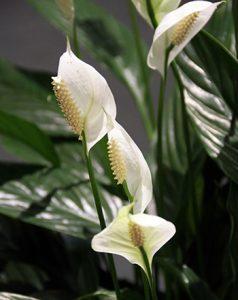 Japanese peace lily spathiphyllum wallisii