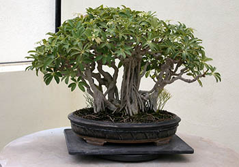 Schefflera Arboricola dwarf indoor tree
