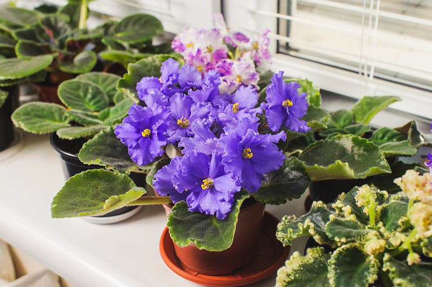 African violets houseplant