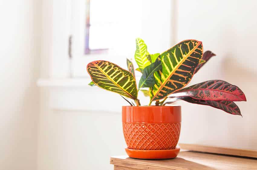 Croton indoor houseplant