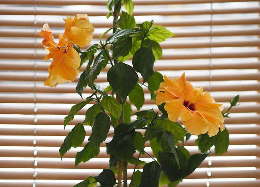 Hibiscus houseplant in window
