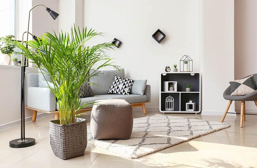 Indoor areca palm tree in living room