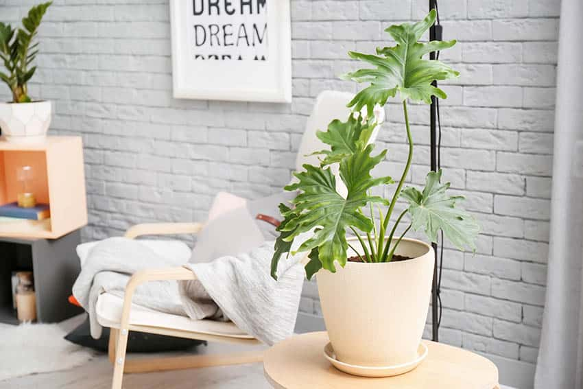 Living room with philodendron houseplant on small table