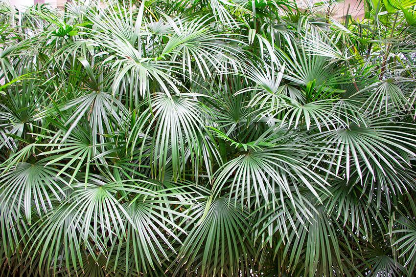 Needle palm rhapidophyllum hystrix