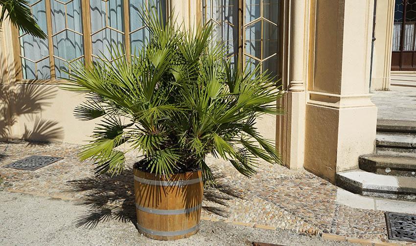 Potted European fan palm