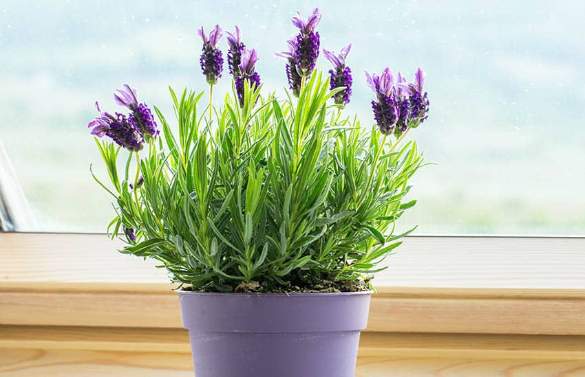 Potted lavender houseplant