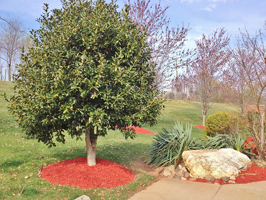Red mulch chips around trees landscaping