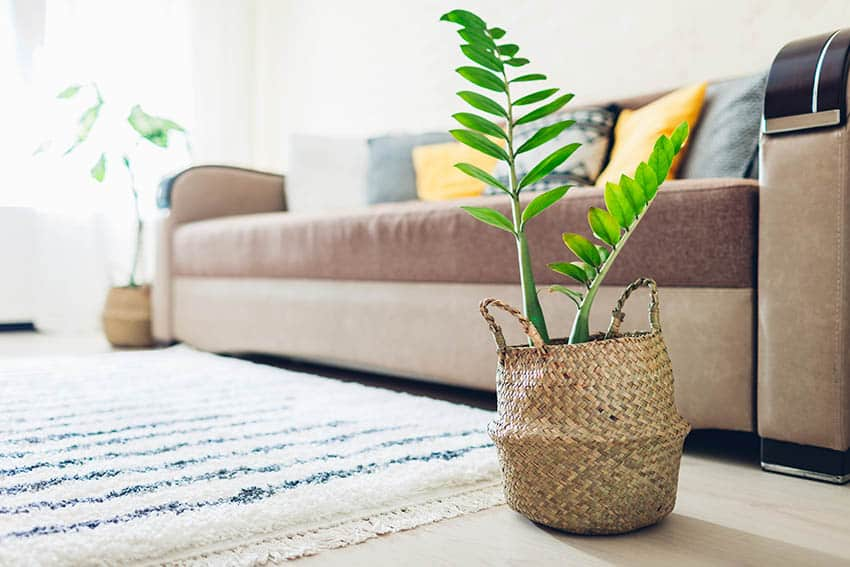 Zz plant with basket pot in living room