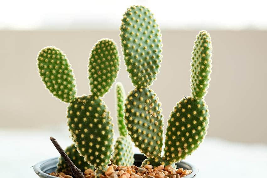 Bunny ears cactus opuntia microdasys