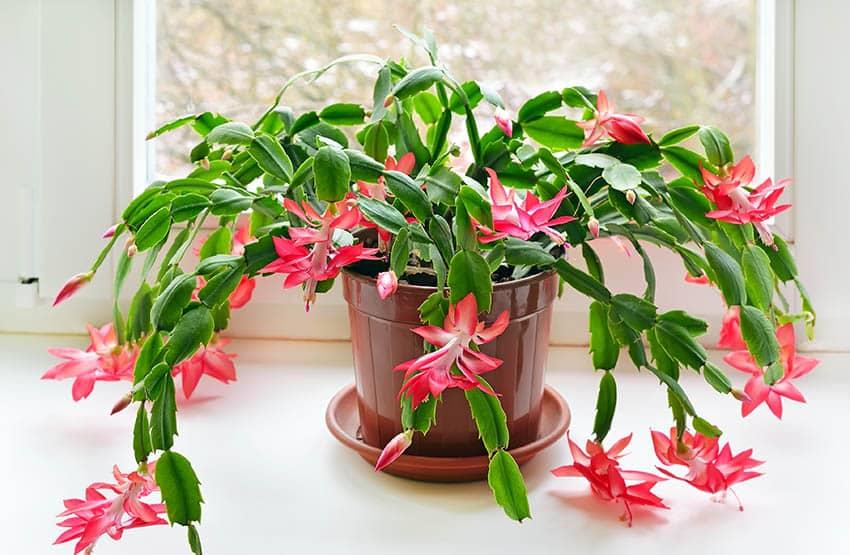 Christmas cactus schlumbergera