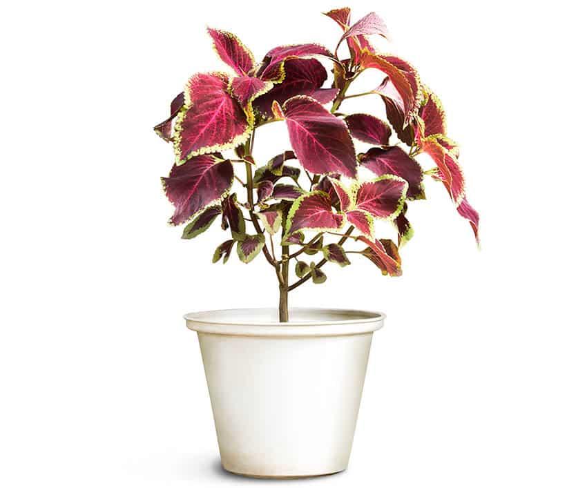 Coleus houseplant flowerpot