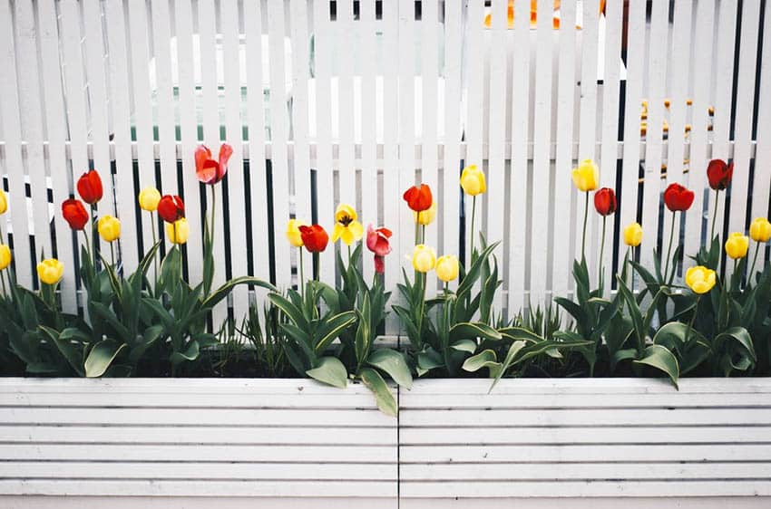 Diy painted wood garden edging with white fence tulips