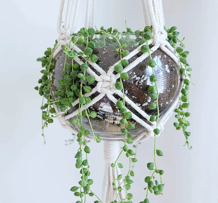 Hanging string of pearls houseplant