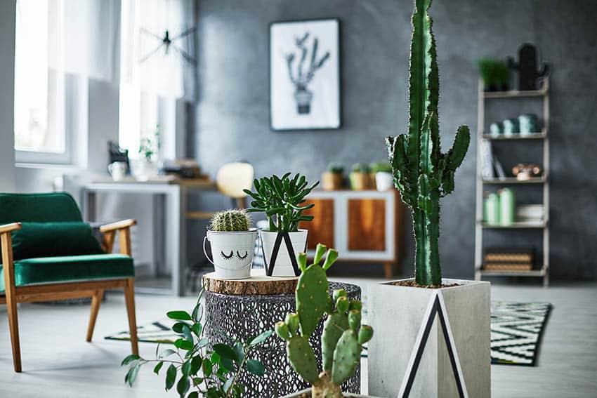 Indoor cactus houseplants in contemporary living room