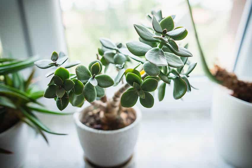 Jade houseplant crassula ovata