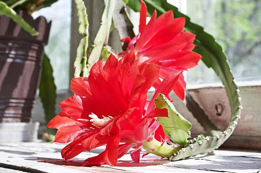 Orchid cactus houseplant epiphyllum