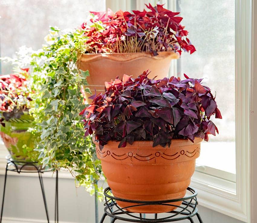 Oxalis triangularis red leaf indoor plant