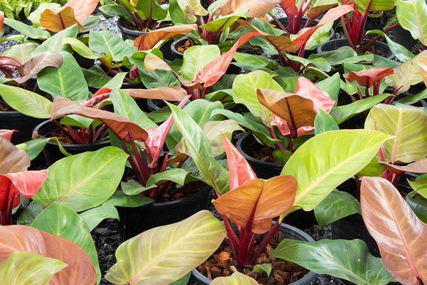 Philodendron erubescens red leaves indoor plant