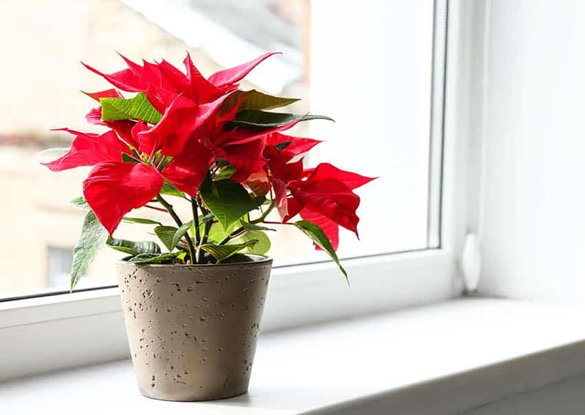 Poinsettia red indoor plant