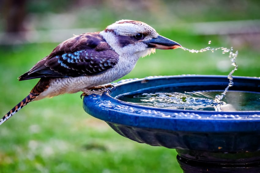 A parched kookaburra drinking from bird bath
