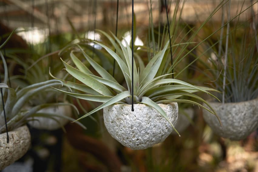 Air plants in decorative hanging planters