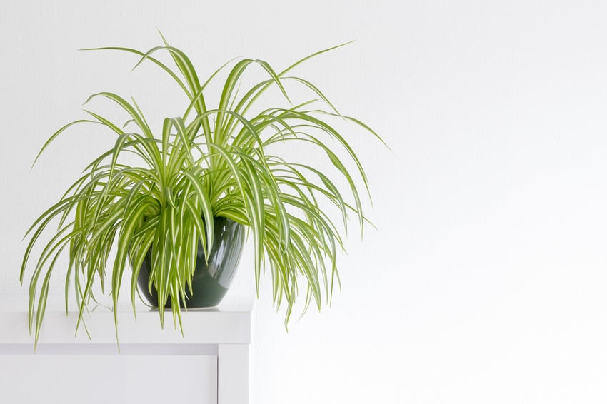 Beautiful spider plant in a green pot